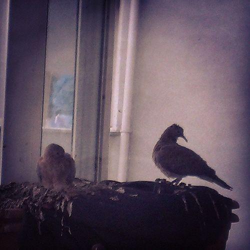Balkonumuzda davetsiz misafirler Kumru Birds