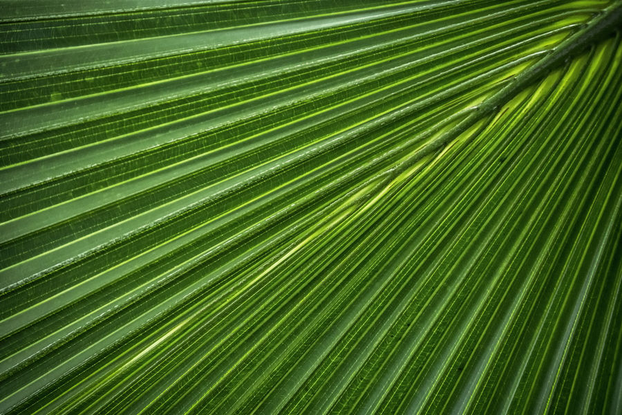 Backgrounds Beauty In Nature Biology Close-up Day Freshness Frond Full Frame Green Color Growth Leaf Nature No People Outdoors Palm Leaf Palm Tree Satisfaction Tree