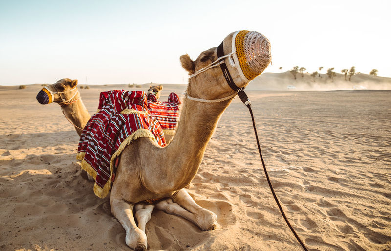 Camels sitting on sand at desert