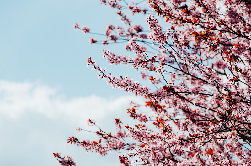 Plant Tree Sky Beauty In Nature Low Angle View Growth Branch Nature Flower Blossom Flowering Plant Springtime Day Fragility Freshness No People Tranquility Outdoors Vulnerability  Cloud - Sky Cherry Blossom Cherry Tree Plum Blossom Fruit Tree Pollen Growing Blooming Flower Tree In Bloom Stamen