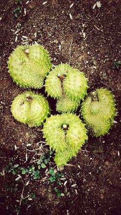 Soursop Fruit Tropical Taking Photos Nature
