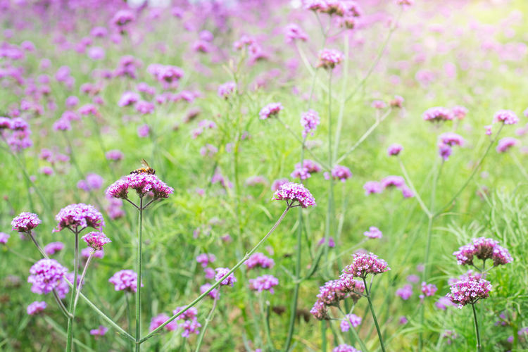 Verbena flower Verbena Beauty In Nature Close-up Day Field Flower Flower Head Flowerbed Flowering Plant Fragility Freshness Green Color Growth Herb Land Medicine Nature No People Outdoors Pink Color Plant Purple Selective Focus Springtime Vulnerability
