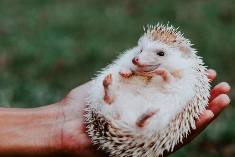 Close-up of a hand holding a hedgehog