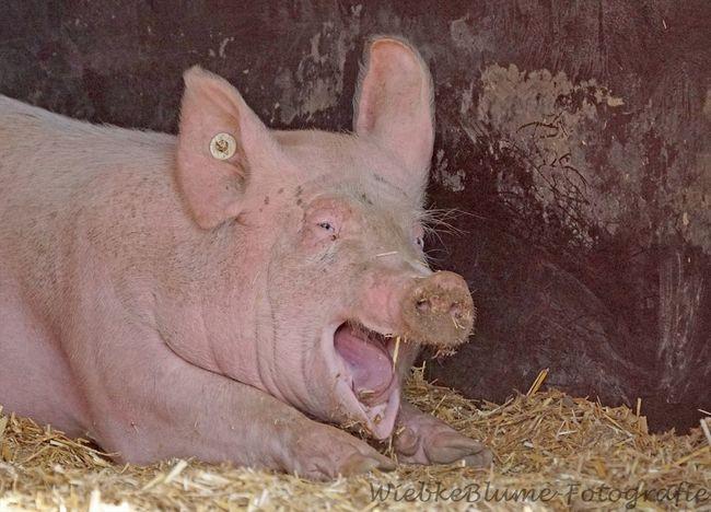 Glückliches Glücksschwein Animal Themes Day Domestic Animals Glück Glückliches Schwein Glücksschwein Hausschwein Livestock Mammal Nature No People One Animal Pig Piglet Sau Schwein Pet Portraits