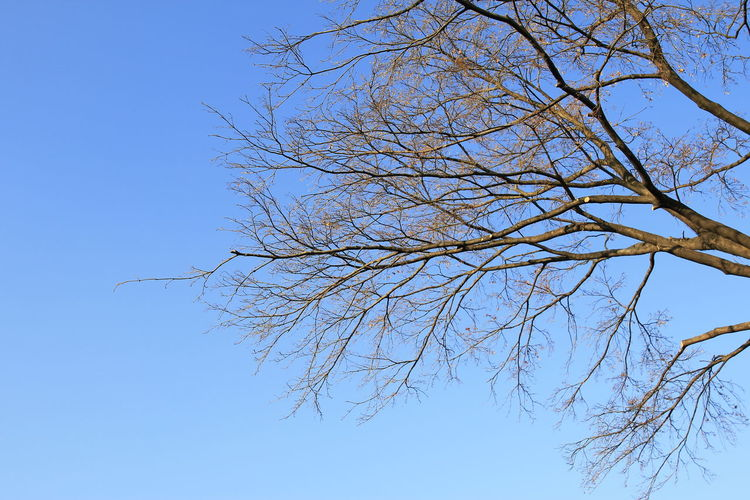 The bare tree with blue sky background in Korea. Sky Tree Branch Clear Sky Low Angle View Plant Bare Tree Blue No People Nature Tranquility Beauty In Nature Day Outdoors Growth Scenics - Nature Sunlight Dead Plant Tranquil Scene Bare
