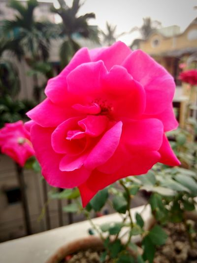 Rose.. The symbol of Love Pink Color Winter Vibes My Terrace Garden