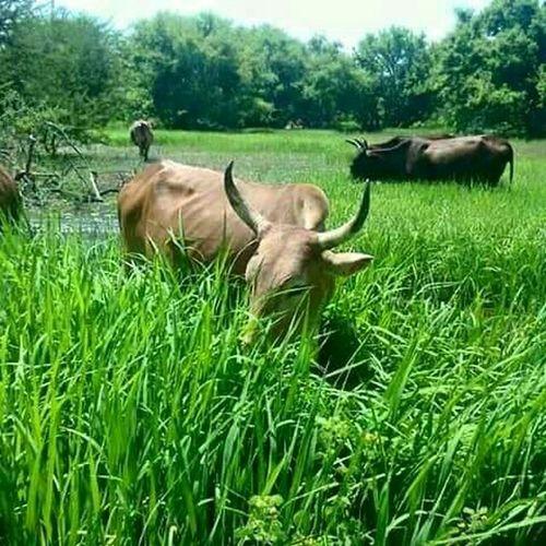 السودان مدينه الفوله مراعي طبيعيه