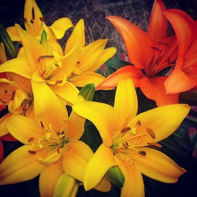 My pretty tiger lilies were blooming this morning. :-)