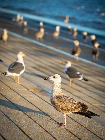 Animal Portrait Animal Themes Animal Wildlife Bird Blurred Background Coast Day Evening Focus On Foreground Gulls Many No People Outdoors Perching Birds Profile Sea Sea Bird Seagull Sunlight