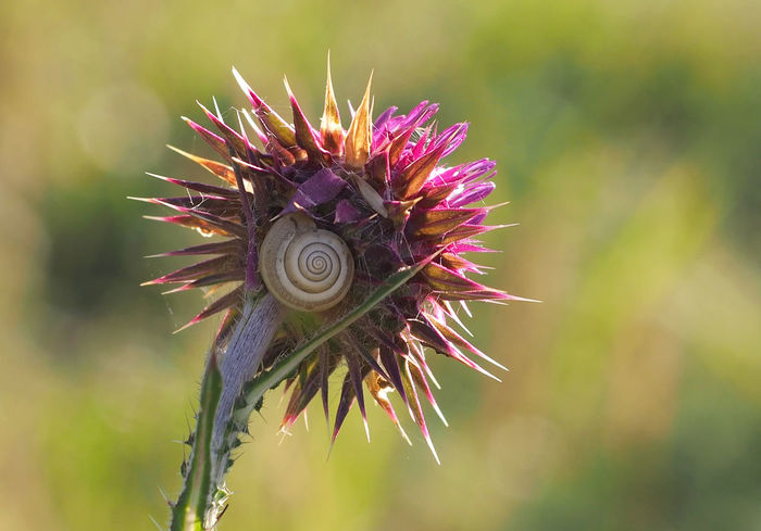 Schnecke Schneckenhaus Autumn🍁🍁🍁 Beauty In Nature Close-up Day Distel Flower Flower Head Focus On Foreground Fragility Freshness Growth Macro Nature No People One Animal Outdoors Plant Slug Bug Spiral Sthil Sunlight Thistle