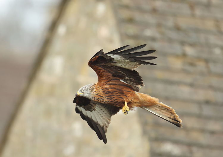 Animal Themes Bird Bird Of Prey Close-up Day Flying Focus On Foreground Full Length Nature No People One Animal Outdoors Red Kite In Flight Spread Wings Winter