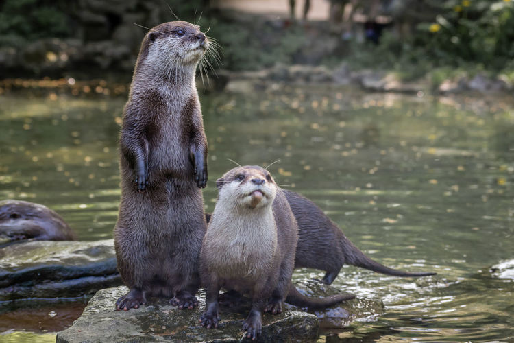 Otter Pond Rock Standing Strecth Whiskers Zoo Animal Wild Animal Wildlife Animals Cute Face Little And Large On Two Feet Otters Water Wet