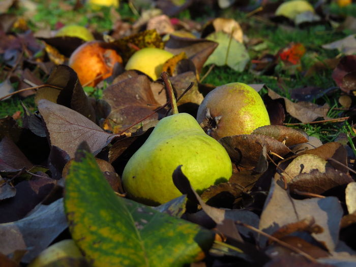 Fallen Fruit Orchards Autumn Close-up Fall Season Field Food Food And Drink Fresh Fruits Fruit Fruit Tree Healthy Eating Leaves Natural Condition Orchard Organic Organic Food Pear Pear Fruit Pear Tree  Pears Plant Plant Part Wild Fruit Windfall