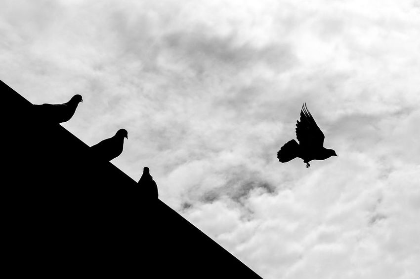 Birds flying high Bird Silhouette Flying Cloud - Sky Animal Themes Animal Wildlife Sky Low Angle View Outdoors Day One Animal Animals In The Wild No People Spread Wings Nature Vulture EyeEm Gallery Street Photography Photooftheweek EyeEm EyeEmStreetshots Streetphotography Birds Of EyeEm