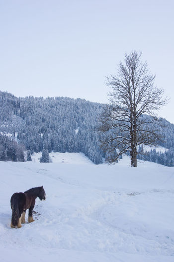 winter scenery with a horse Animal Themes Bare Tree Beauty In Nature Clear Sky Cold Cold Temperature Domestic Animals Farm Field Free Horse Gstaad Horse Life Mountain Nature One Animal Outdoors Pets Snow Snow Covered Snow ❄ Switzerland Tree Winter Winter Horses Winterday Shades Of Winter