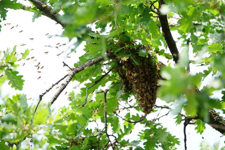Bee Bee Swarm Honey Beekeeping Animal Wildlife Insects  Nature Tree