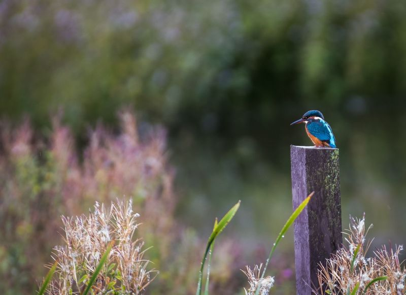 Kingfisher Kingfisher Nature Photography EyeEm Gallery Nikonphotography EyeEm Best Shots Eye4photography  EyeEmBestPics Nature_collection Plant Focus On Foreground Nature Bird Day Animal Beauty In Nature Perching No People