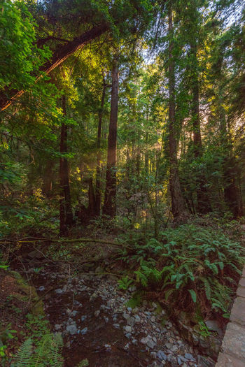 Forest Tree Land Plant Nature WoodLand Tranquility Growth No People Beauty In Nature Green Color Day Scenics - Nature Tranquil Scene Non-urban Scene Foliage Lush Foliage Tree Trunk Footpath Trunk Outdoors Trail Redwoods