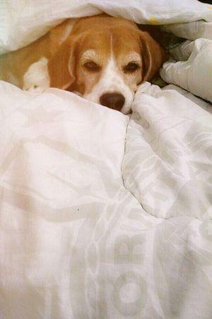 Sono... Billyfanfarrão VAI CORINTHIANS Relaxing Pets Corner Beagles  Beaglelife Beaglestagram Sleeping Beagle Beaglelovers Beagleoftheday