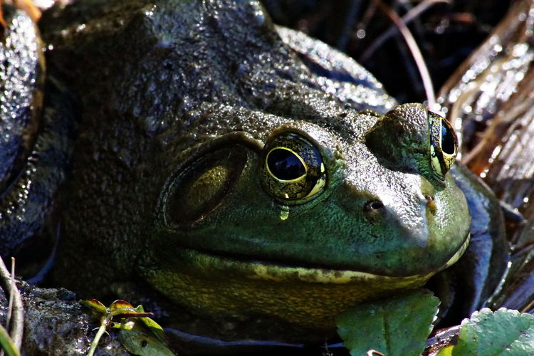 Close-up of bullfrog