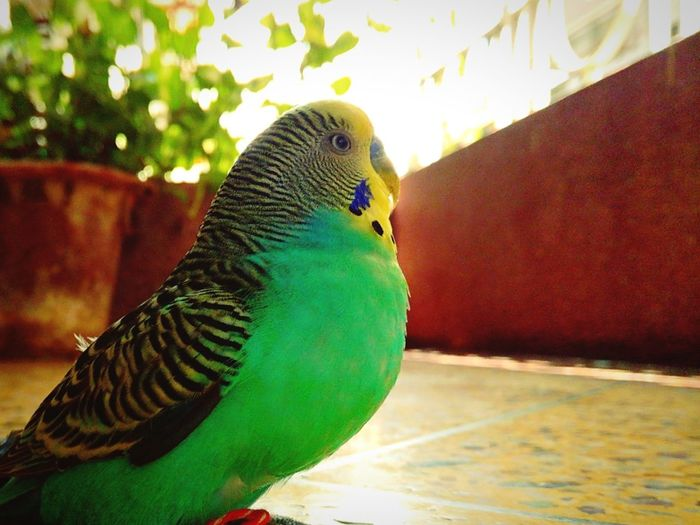 Love Birds ❤️❤️❤️❤️ Bird Photography Lit Background Bird Lovers Afternoon Sunlight Bird In Thought Mobilephotography Pet Birds Green And Yellow  Green Birds Mobile Photography
