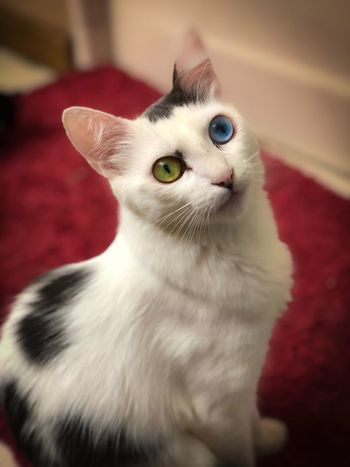 Stella Bear Different Eye Color White Cat Green Eyes Blue Eyes Color Eyes Domestic Cat Cat Feline Pets Domestic Domestic Animals One Animal Indoors  Close-up Portrait White Color Looking At Camera Animal Eye Whisker Focus On Foreground