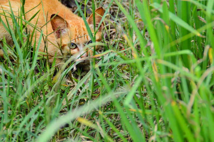 Feline Hunter Cat Hunting  Predator One Animal Grass Animal Themes Animals In The Wild Mammal Animal Wildlife Day Nature Outdoors No People Ginger Cat Feral Cat Portrait Close-up Leopard EyeEm Selects Pet Portraits