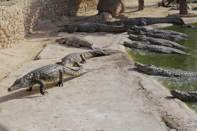Crocodiles bask