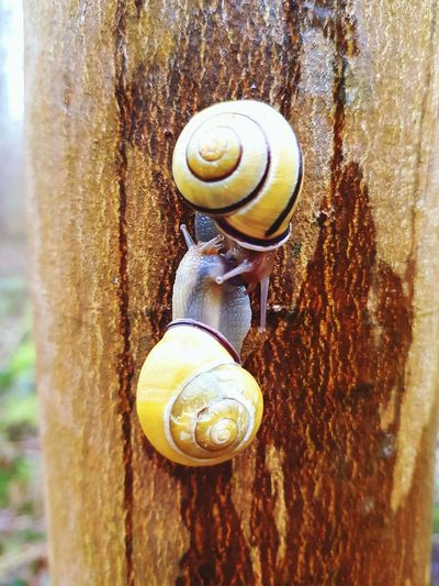 Two snails with yellow shell touching Yellow Outdoors Closeup Nature Texture Focus On Foreground Schneckenhaus Schneckengehäuse Baum Rinde Tree Bark Rain Protection Stem Gastropod Snail Animal Shell Close-up Animal Themes Wildlife Shell Mollusk Antenna Crawling Slimy Mussel Spiral Slow Detail Slug Animal Antenna