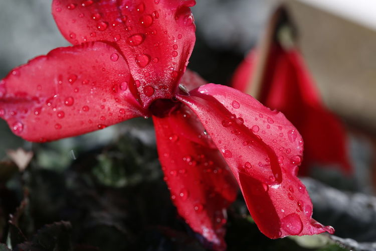 Water drops Flowers Of EyeEm Taking Photos Beautiful Nature Nature 3XPUnity Reflections Reflection Photography Cyclamen Cyclamen Flower Red Color Red Flower Flower Flower Head Red Water Leaf Wet Close-up Plant RainDrop Drop Droplet