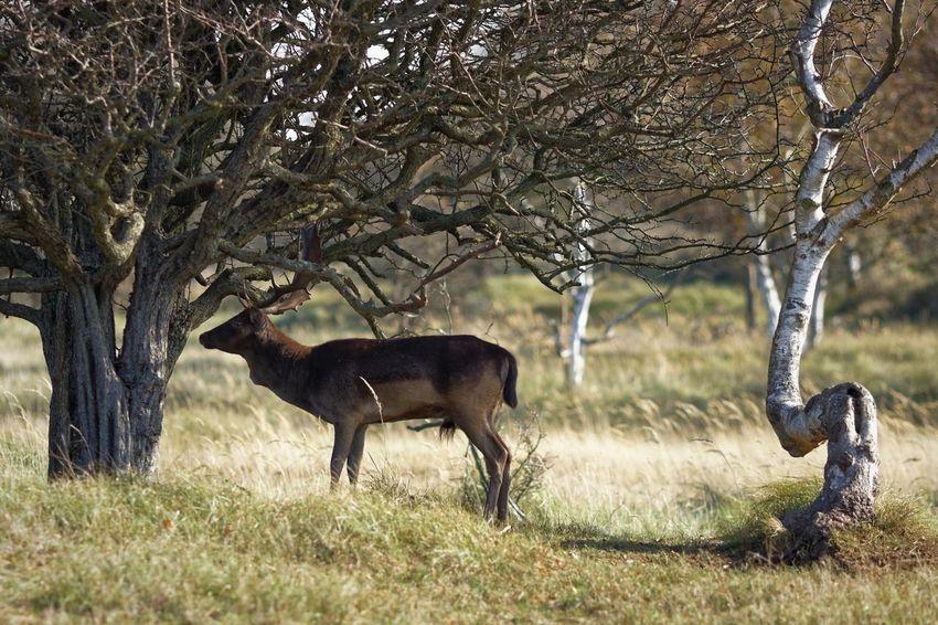 In the mood for love In The Mood For Love Buck Fallow Deer Rut Testosterone Animal Animal Themes Animal Wildlife Mammal Plant Tree Animals In The Wild Nature