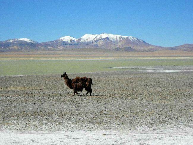 Landscape Cold Temperature Desert Outdoors Nature Animal Themes No People Beauty In Nature Sand Dune Salar De Atacama Chile♥ Atacama