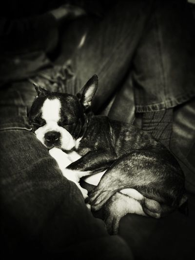 ボストンテリア Bostonterrier Ilovemybostonterrier Dog Boston Terrier Ilovemydog