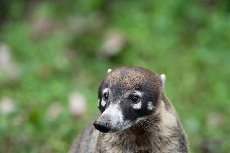 Close up of coati