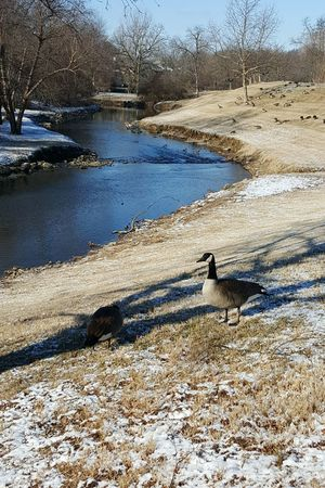 Nature Outdoors Sunlight Day Beauty In Nature Animal Themes Cold Temperature Light Snow Bird Geese Flock Of Geese Beargrass Creek Stream Bare Trees Urban Wildlife Urban Nature Winter
