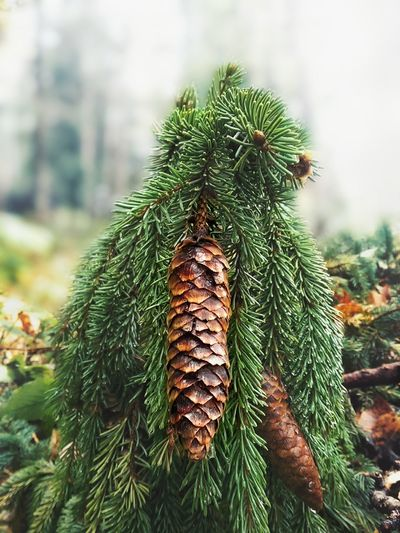 Tree Nature Green Color Pinaceae Growth Vertical Beauty In Nature Sky No People Environment Pine Cone Day Needle - Plant Part Branch Outdoors Close-up Christmas Tree Atumn Colors