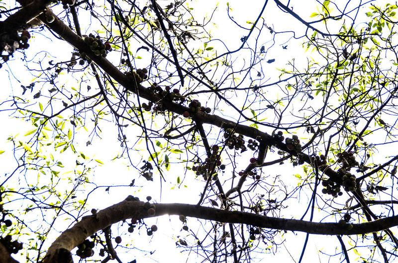 Fruites Tree