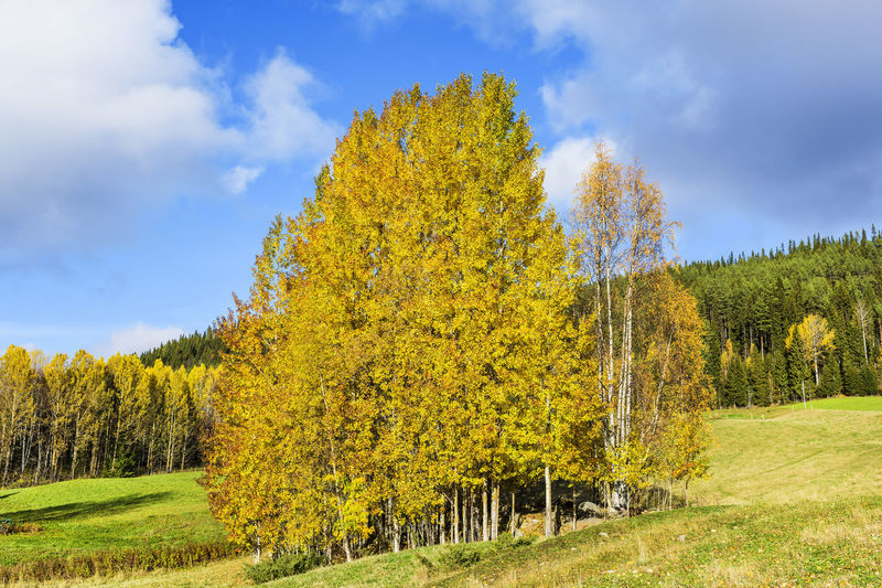 Yellow tree in field against sky during autumn