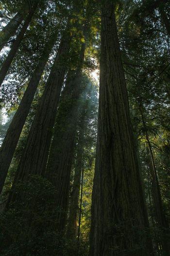 Northern California California Redwoods