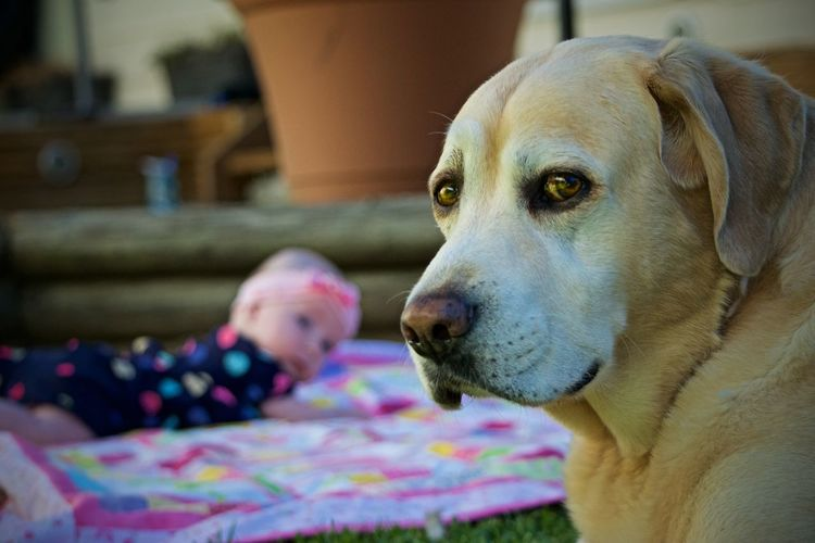 Protector Body Guard Labrador Retriever Labrador Dog Canine Domestic Pets Domestic Animals One Animal Mammal Animal Themes Animal Focus On Foreground Indoors  Looking Portrait Close-up Home Interior Relaxation Looking Away Child Furniture Innocence Animal Head  Redefining Menswear