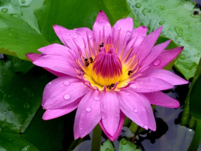 Close-up Dew Flower Flower Head Flowering Plant Freshness Leaf No People Pink Color Rain Water Wet