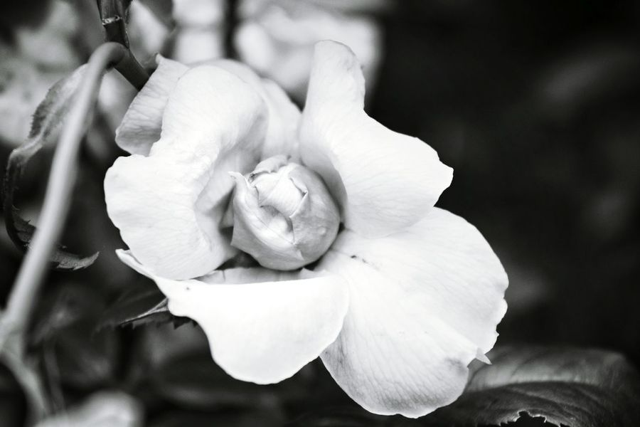 My EyeEm Gallery Black & White Flower Pretty Grandmas Garden EyeEm Nature Lover Roses Mother Nature Filters Love It.