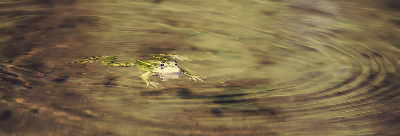 High Angle View Of Frog Swimming In Water