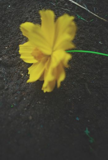 Yellow Fragility No People Outdoors Beauty In Nature Freshness Flower Head EyeEmNewHere Eyeem Market Silhouette