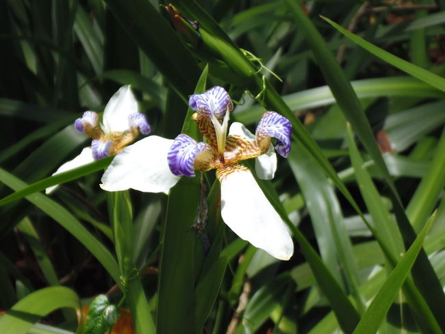 Brazilian Walking iris Brazilian Walking Iris Iris Month Of November Parque Da Luz Pretty Flowers Make Me Happy Susan A. Case Sabir Unretouched Photography Walking Iris Beauty In Nature Blooming Blooming Flower Brazilian Walking Iris Close-up Delicate Beauty Delicate Flowers Flower Photography Freshness Of Flower Green Leaves In Full Bloom Iris - Plant Iris - Walking Poor Man´s Orchid Pretty Flower Walking Iris White And Purple Iris
