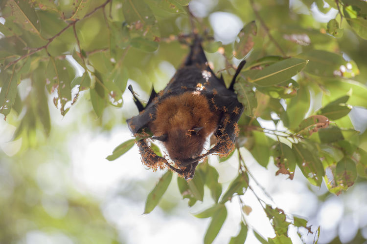 Foxbats in Thailand Ants Bat Hanging Relaxing Tree Animal Themes Animal Wildlife Animals In The Wild Bats Branch Close-up Covered Day Fox Fox Bat Foxbat Fruit Growth Insect Leaf Nature No People One Animal Outdoors Plant