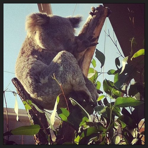 Koala sleeps 20 hours everyday! Koala Sydney Zoo