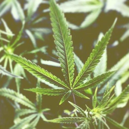 Coloradosprings Legal Marijuanaplant Beautiful dope doubletap medication trill doubletap