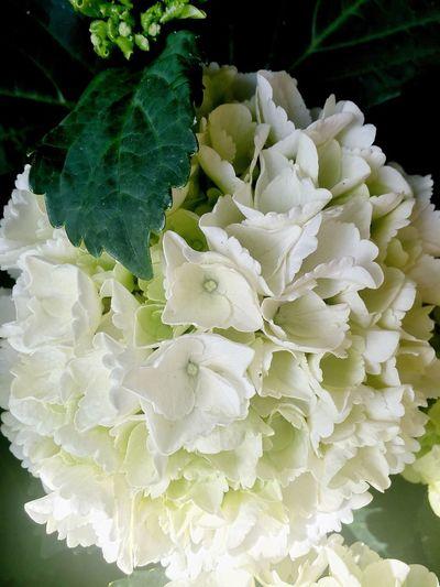 Hortensie 🌸 Hortensia Beauty In Nature Summertime ♥ Itsabeautifulworld Quiet Moments Lovely :) Zuhause 💕 Das Leben Ist Schön Focus On Foreground Selective Focus Blümchen Für Euch Blümchenliebe Blumenpracht🌺🍃 Blütenschönheit White Color Romantic❤ Naturelovers