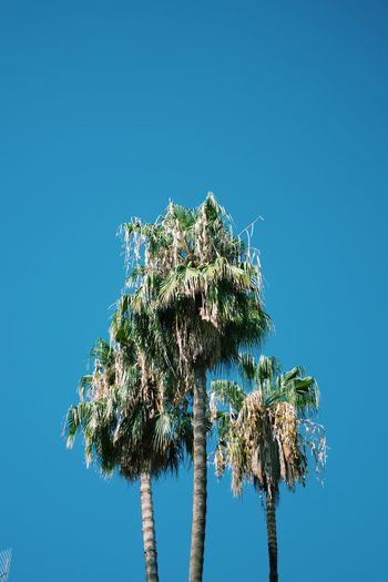 Sky Clear Sky Plant Low Angle View Tree Blue Nature Green Color Tall - High Tranquility Sunlight Palm Tree Leaf Beauty In Nature Day Outdoors Growth No People Copy Space Tropical Climate